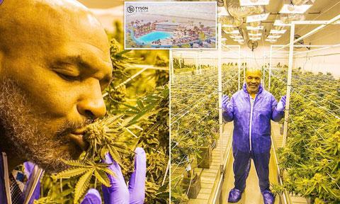 Giờ đây Mike Tyson đã có một cuộc sống an nhàn bên trang trại trồng cần sa cung cấp dược liệu cho ngành y tế