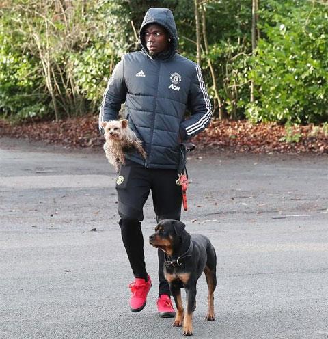 Paul Pogba chi 15.000 bảng tậu một chú chó dòng Rottweiler