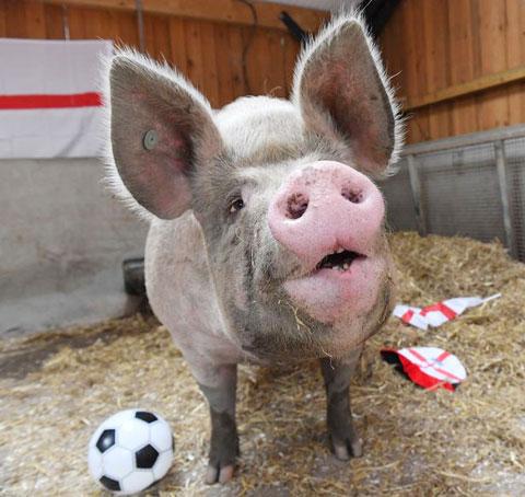Lợn Suzie sẽ phán các trận của ĐT Anh tại EURO 2020